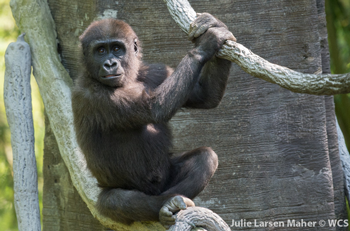 Young gorilla perched on a branch.