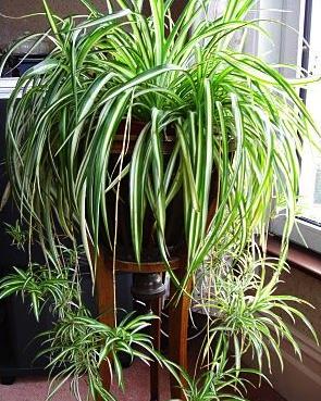Spider plant bedroom plants