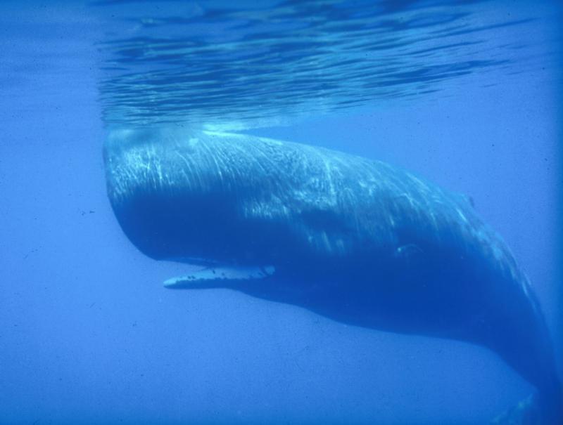 sperm whale underwater, BMMRO
