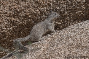 joshua-tree-California Ground Squirrel – Otospermophilus beecheyi