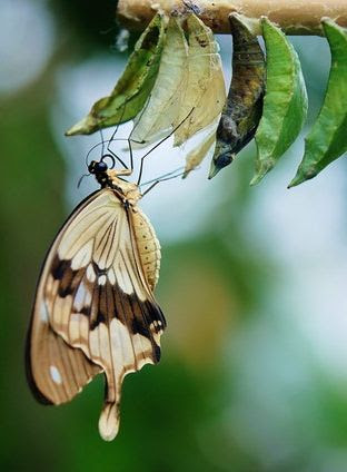 Butterfly emerged from cocoon