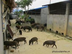 Tiệc chuyên đề lợn mán tại nhà, giá chỉ 200.000đ/suất 3