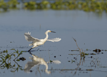 Snowy Egret by Andy Wraithell
