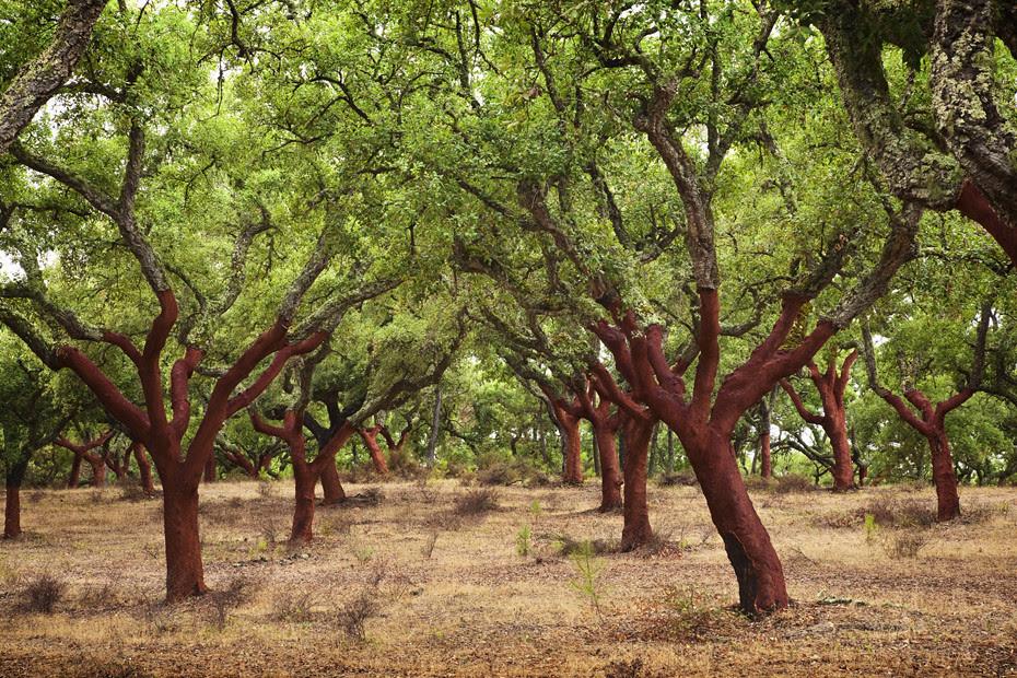 Cork Trees 01