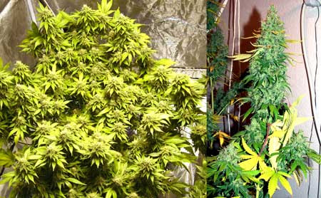 Order feminized
