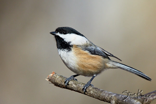 Black-capped Chickadee, © Photo by Steve Kaye, in Blog Post: Question: Who Are You?