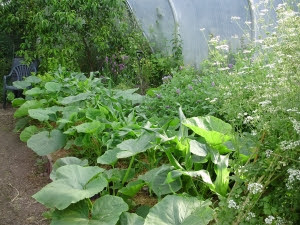 Pumpkins planted either side sweet corn, trying to take over tunnel