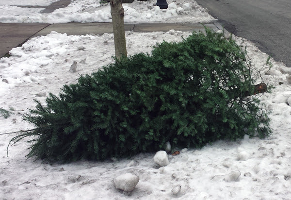 Christmas Tree Pick Up Starts Dec 31 Evanston Roundtable