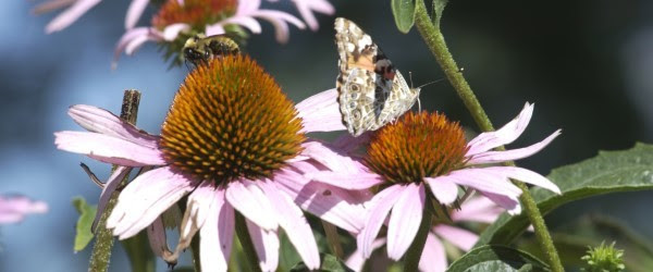 bee and butterfly on coneflower