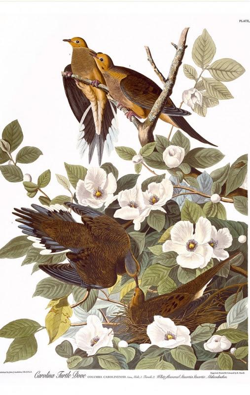 Audubon print: Turtle Dove