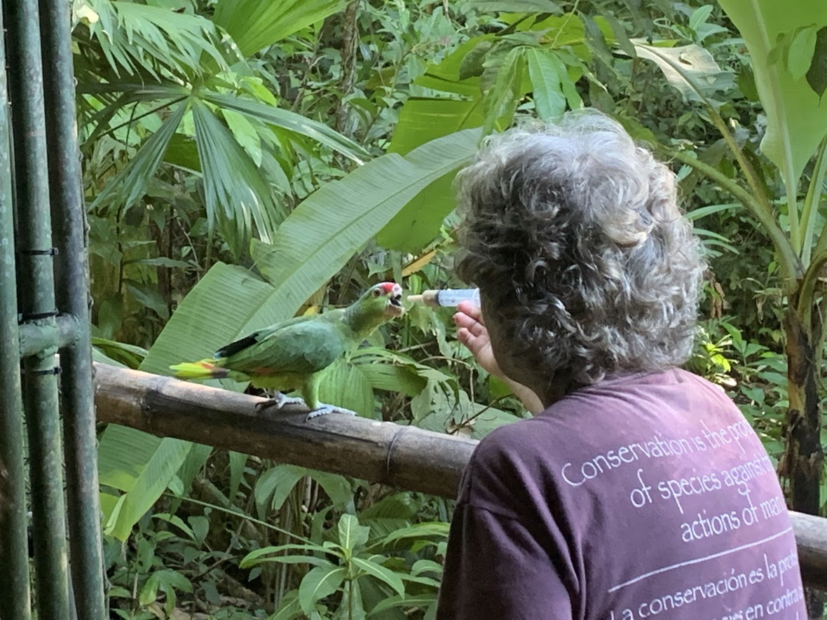Woman syringe feeding a parrot out on a bamboo bridge in the rainforest