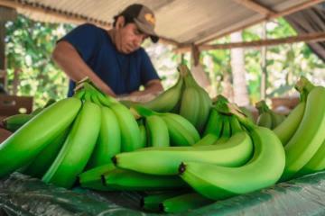 Derivados del banano orgánico beneficiarían a 9.000 productores