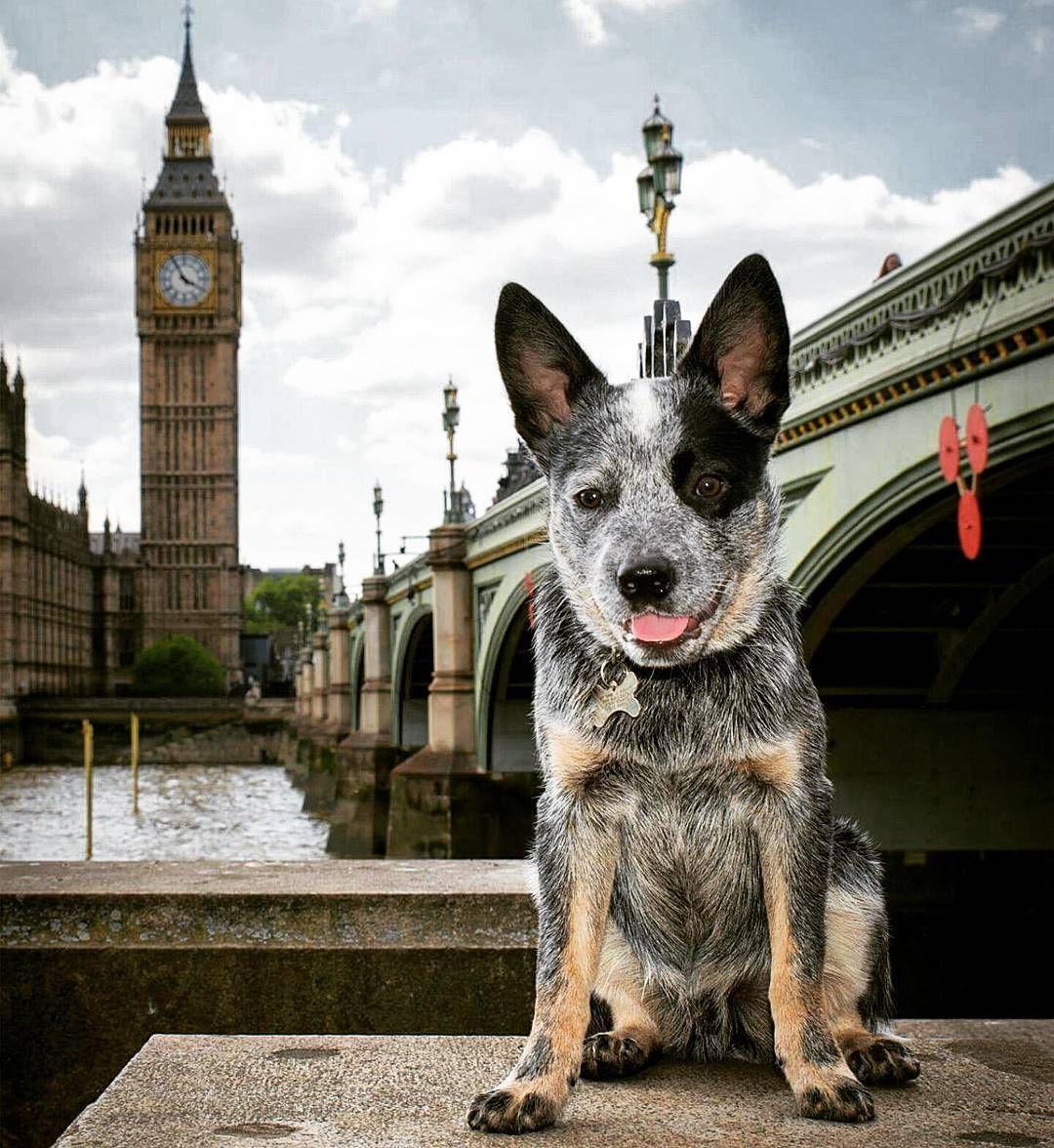 westminsterdog