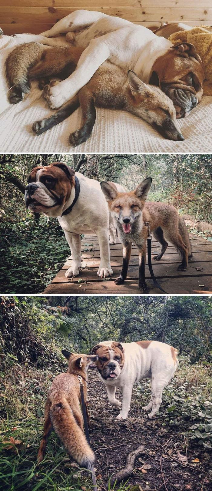 "Rescue Fox And A Bulldog Become Inseparable And Form A Real-Life ""The Fox And The Hound"" Friendship"