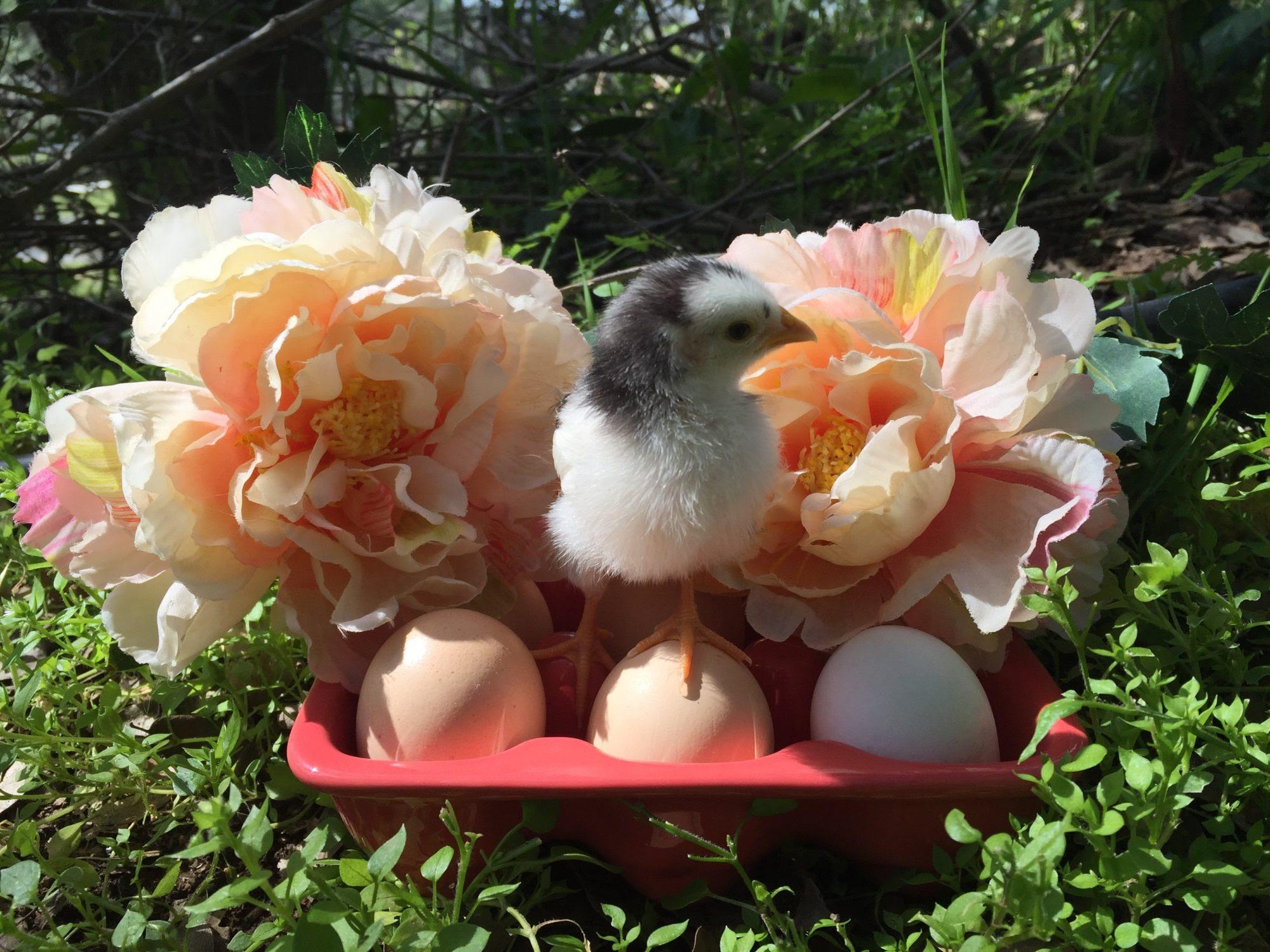 http://cdn.backyardchickens.com/2/27/27a0b356_image.jpeg