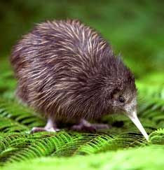 Kiwi, New Zealand