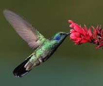 Gardening to Attract Hummingbirds