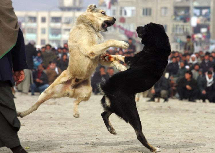 OMG. Dog fight in Afghanistan (14 photos)