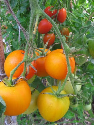 Grow Great Tomatoes