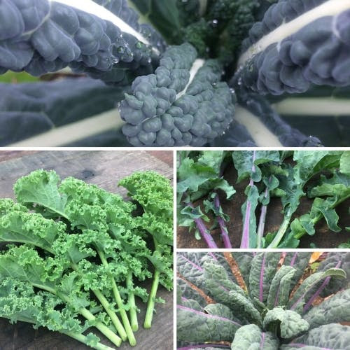 Kale for your garden
