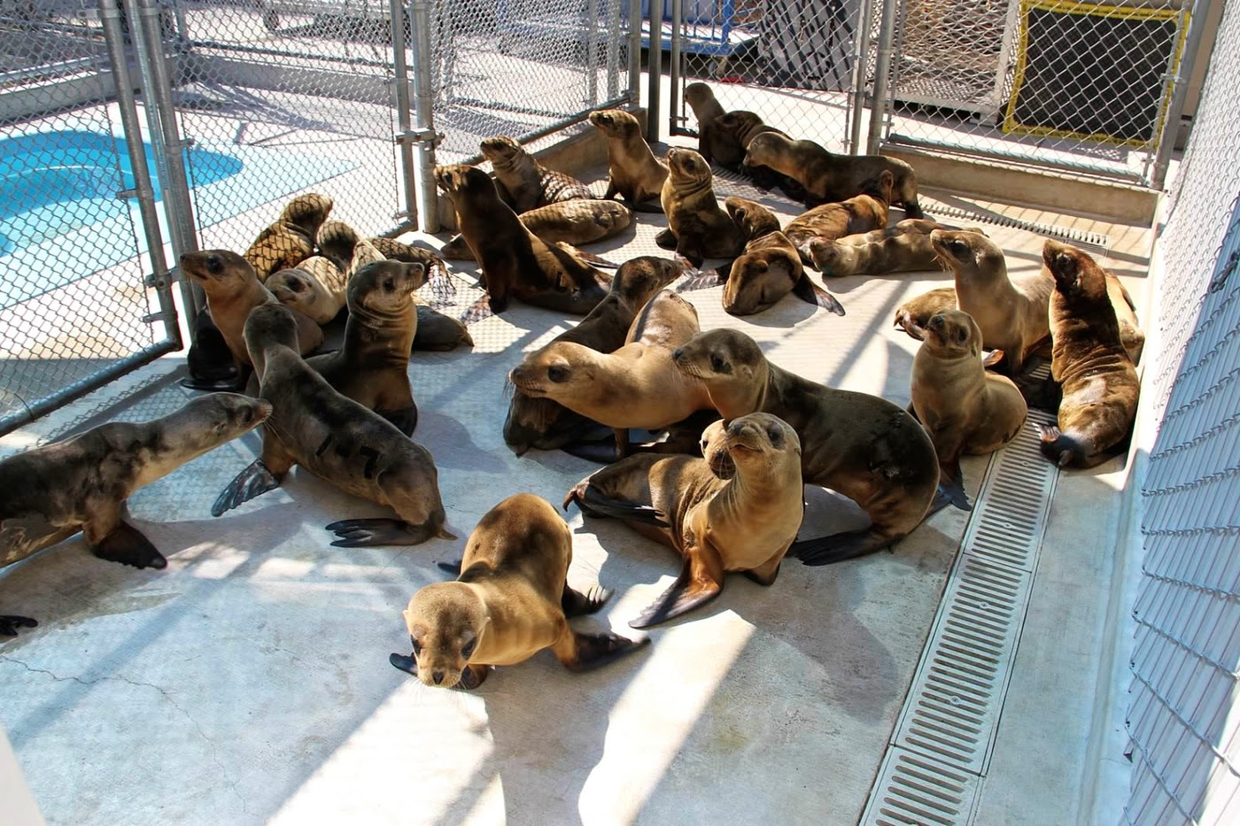 Emaciated juvenile sea lions undergoing rehabilitation at the Marine Mammal Center in California. Their plight is thought to have been triggered by the unusually warm water conditions that persist in the coastal Pacific Ocean, upsetting the usual food web upon which sea lions and other wildlife depend.