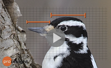 Learn to tell Hairy Woodpecker from Downy Woodpecker and more bird ID secrets