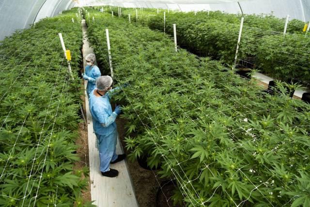 Uruguay registra una caída del tráfico de marihuana tras la legalización