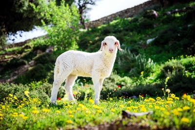 Lamb in flowers near Jerusalem