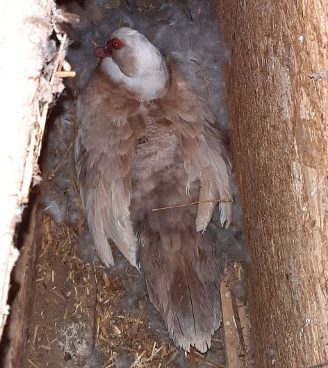 a brown duck among fluffy feather snug in a plywood corner