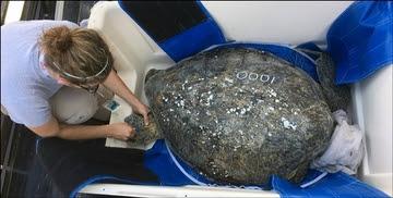 1000th Sea Turtle
