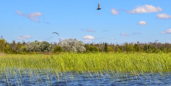 Shorebirds fly above a forested shoreline