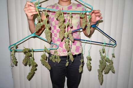 Sour Diesel buds right before being hung to dry