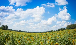 Sunflower fields in Central Thailand 06_L