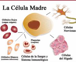 Celulas madre provenientes de  partogenesis para medicina regenerativa