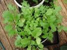 Spicy salad mix in 10litre bucket - 25.10.12