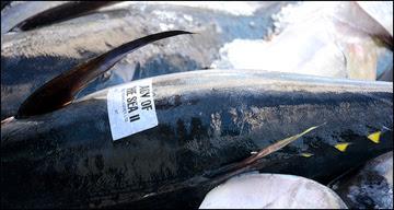 Bigeye Tuna at Honolulu Fish Market