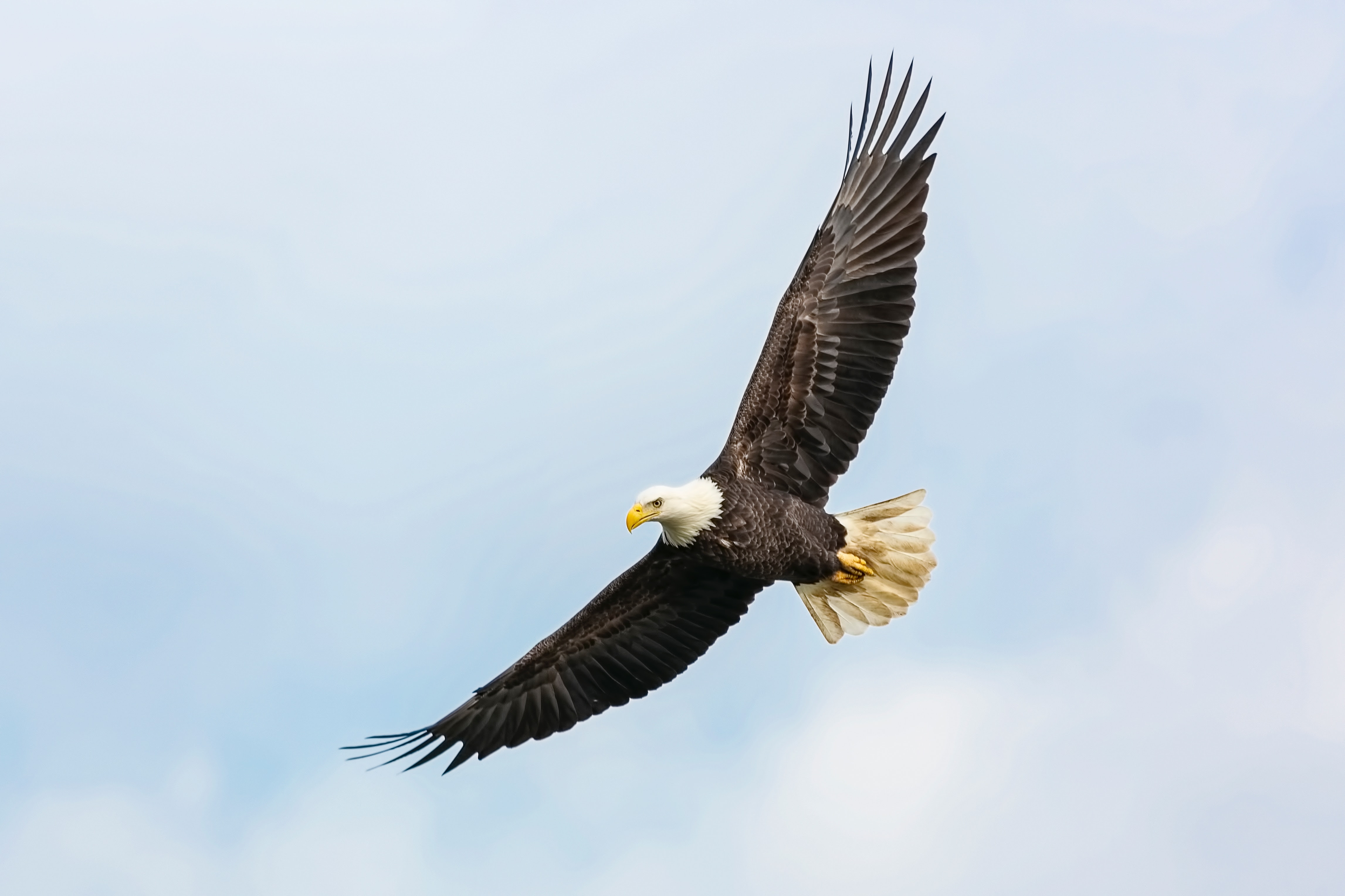 The bald eagle was saved by the ESA