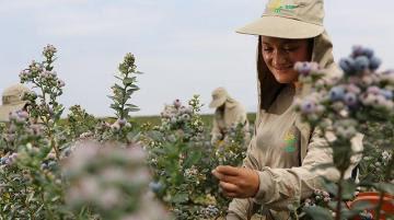 Agrícola Cerro Prieto desarrolla proyecto para cultivar arándanos en maceta