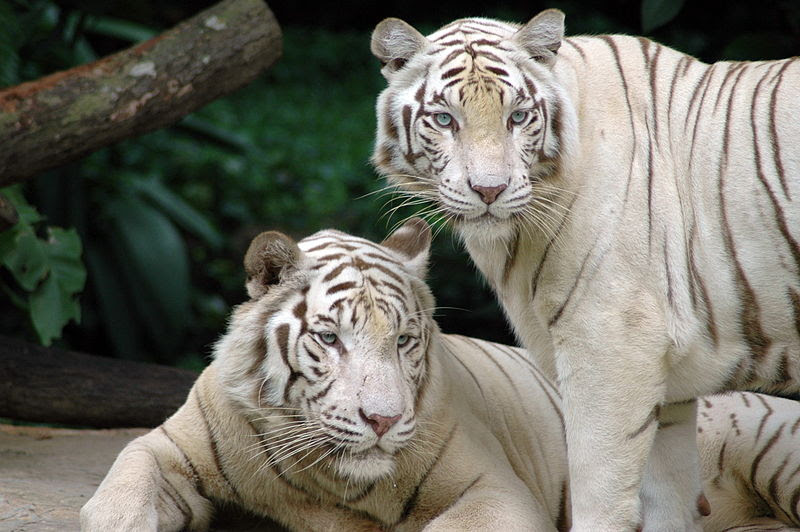 Bestand:Singapore Zoo Tigers.jpg