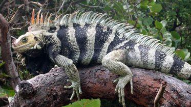 New Iguana Species