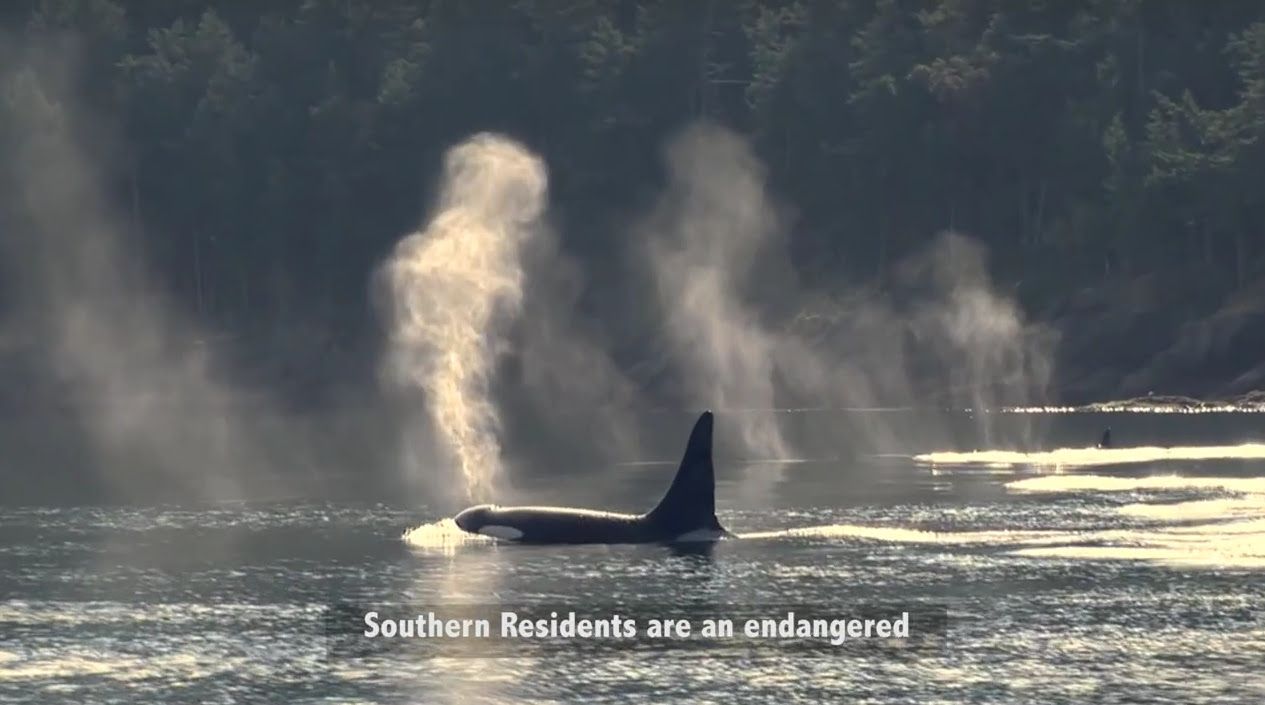 Orcas01.jpg