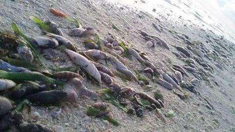 Ảnh cá chết trên bờ biển quanh đảo Pag-asa (Thị Tứ). Nguồn: FB Kalayaan ATIN ITO