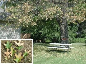 DNR advises caution to prevent spread of oak wilt disease