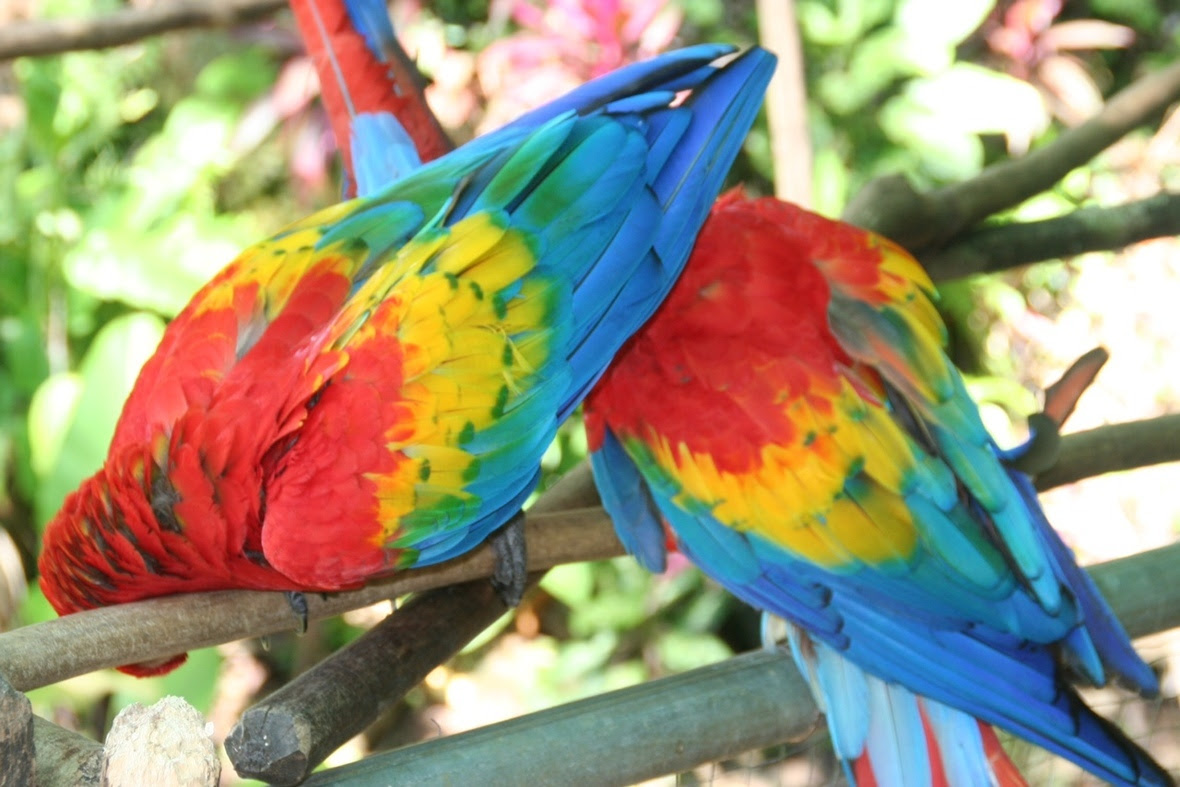 This pair of scarlet macaw are reproducing every year and so are a few other pairs!