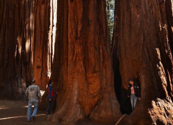 Sequoias gigantes de California amenazadas por las llamas, foto Mark Ralston AFP