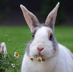 rabbit-eat-flowers