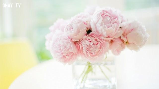 Hoa Mẫu Đơn: Cuộc sống phú quý.,ngôn ngữ các loài hoa,hoa đẹp,hoa ngữ