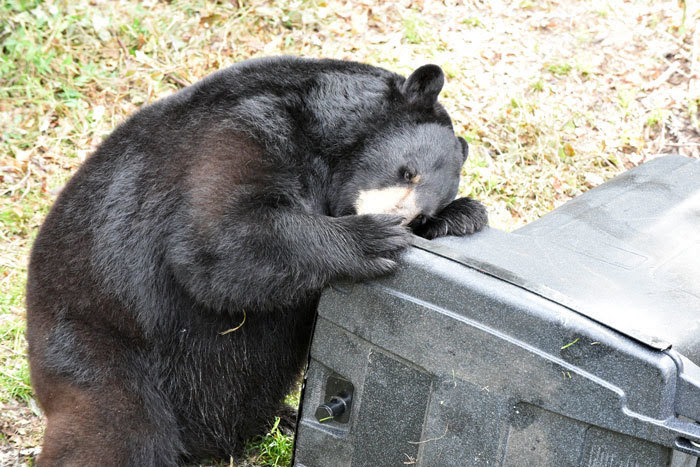 bear trying to get into garbage