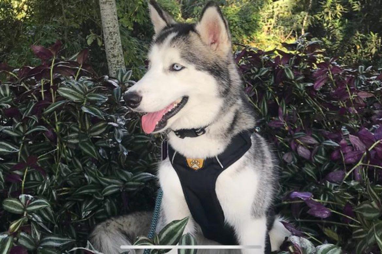 13.1-donatella-lobo-siberiano-ojos-lindos-perros-cuarentena-carmen-giraldo-1170x780