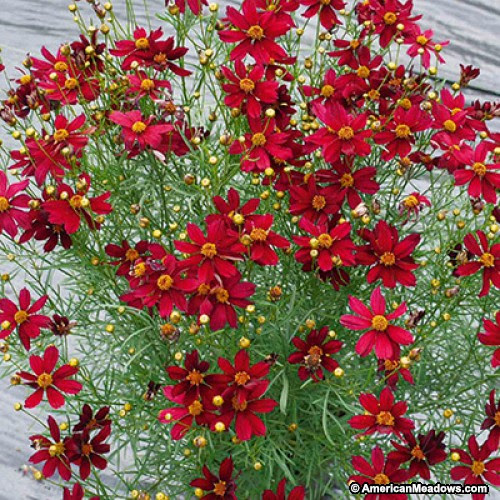red coreopsis